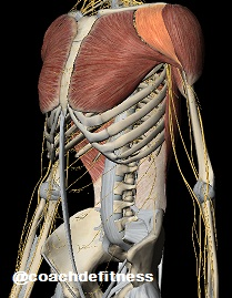 MP deltoides anterior
